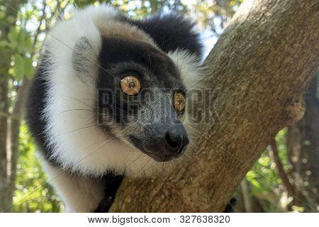 Black-and-white Ruffed Lemur (varecia Variegata). Endemic Madagascar. Close Up.