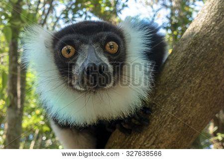 Black-and-white Ruffed Lemur (varecia Variegata).endemic Madagascar Portrait.