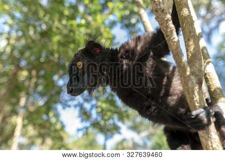 Male Black Lemur, Eulemur Macaco, Madagascar, Africa.