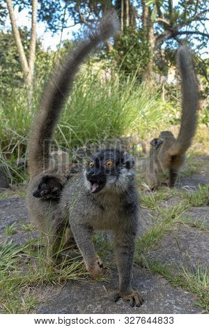 Red Fronted Brown Lemur ( Eulemur Rufifrons ). Mother And Baby. Madagascar, Close Up