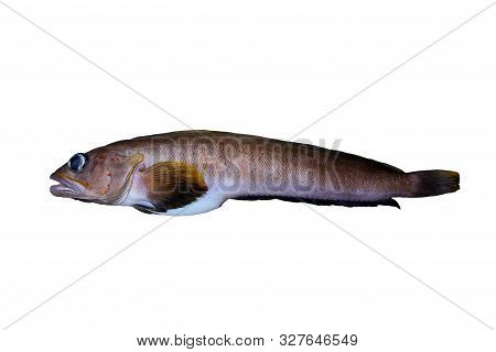 Alive rockfish Searcher (Bathymaster signatus) isolated on white background. poster