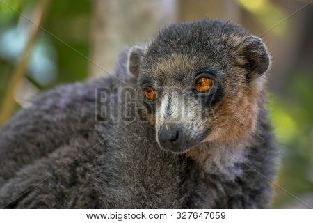 Red Fronted Brown Lemur ( Eulemur Rufifrons ). Portrait. Close Up.madagascar,