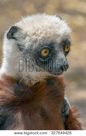 Crowned Sifaka Lemur ( Propithecus Coronatus ), Portrait. Madagascar - Wild Nature.