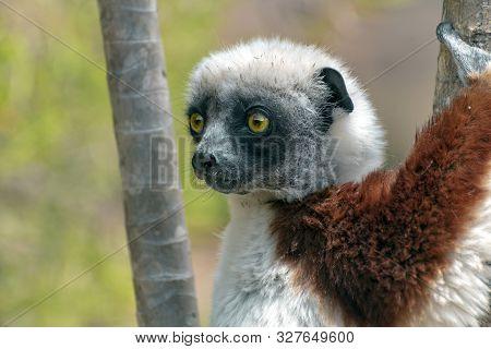 Crowned Sifaka Lemur ( Propithecus Coronatus ), Portrait.madagascar - Wild Nature.
