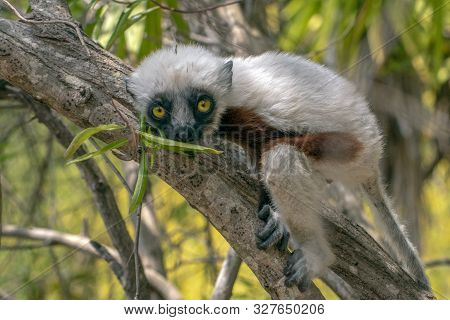 Crowned Sifaka Lemur ( Propithecus Coronatus ),young Baby.portrait.madagascar - Wild Nature.