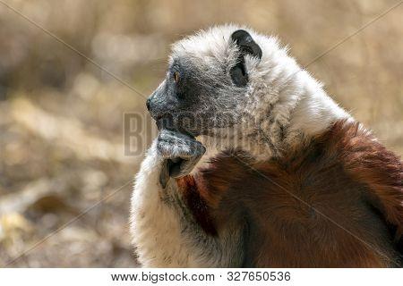 Crowned Sifaka Lemur ( Propithecus Coronatus ),portrait.madagascar - Wild Nature.