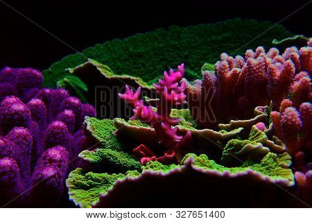 Birdnest Sps Reef Coral - Seriatopora Caliendrum