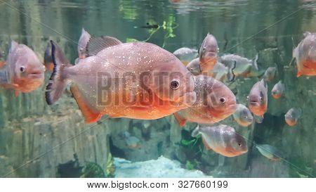Red Piranha Fish in aquarium