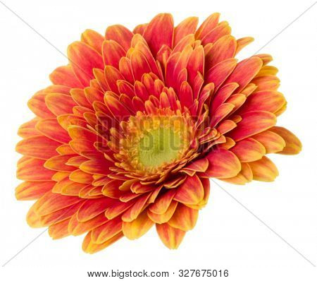 orange gerbera flower head isolated over white background closeup. Gerbera in air, without shadow. Top view, flat lay..
