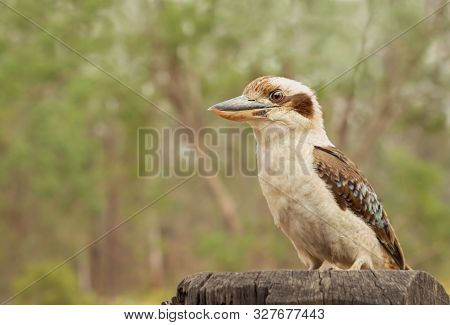 Australian Iconic Bird, The Laughing Kookaburra, Laughing Jackass Or Giant Kingfisher, Dacelo Novaeg