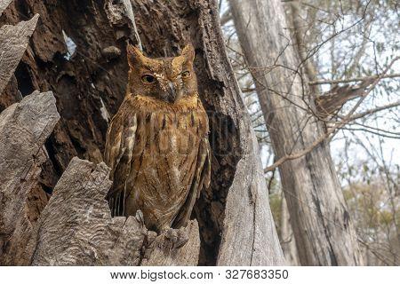 Madagascar Scops-owl  ( Otus Rutilus), Pemba Dwergooruil, Malagasy