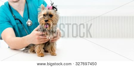Veterinarian hands holding Yorkshire Terrier dog on examination table in vet clinic. Pet doctor taking care of Yorkshire Terrier dog. Selective focus on pet