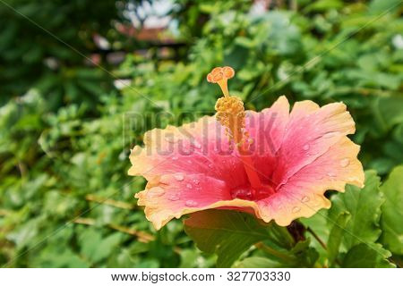 Orange Hibiscus On A Natural Green Background