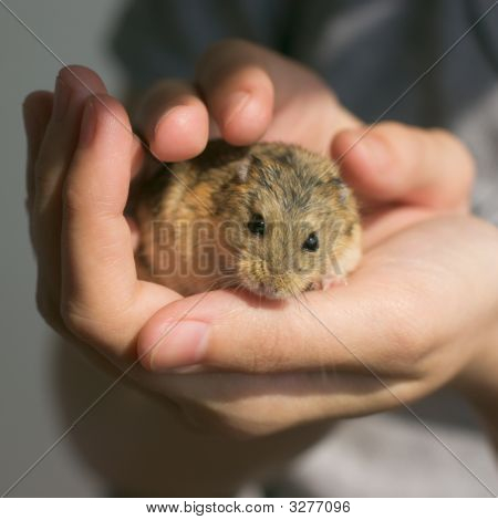 Campbell's Dwarf Hamster In Hands
