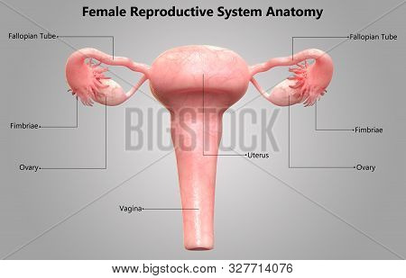 3d Illustration Concept Of Female Internal Organs Reproductive System Described With Labels Anatomy