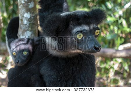 Beautiful Image Of The Indri Lemur - Indri Indri. Together With The Baby