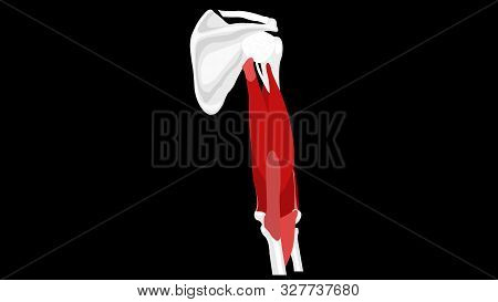 Triceps Brachii Muscle. Anatomy Muscles Isolated On Black. Vector Illustration