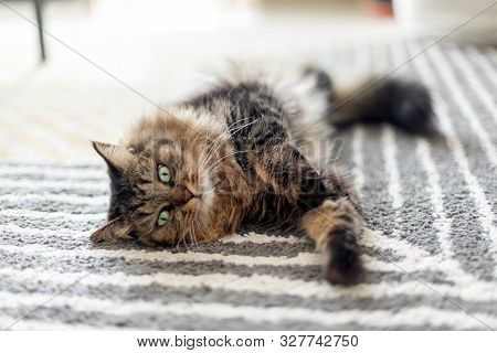 Adorable Fluffy Cat Relaxing At Home In The Morning