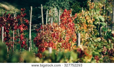 Yellow, Red, Green Autumn Grape Plantations. Beautiful Autumn Landscape.