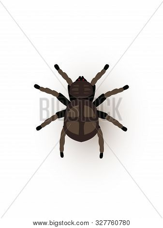 Tarantula, Creepy Spider Flat Vector Illustration. Mygalomorphae, Scary Arachnid Closeup Top View. A