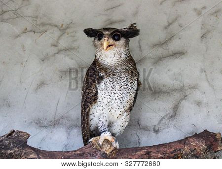 Portrait Of Angry Frightened Barred Eagle-owl, Also Called The Malay Eagle-owl, Awaked And Disturbed