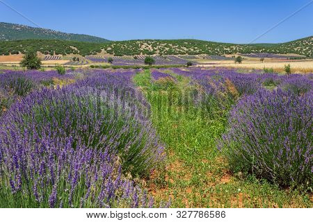 Lavender Field With Hill View At The Background.