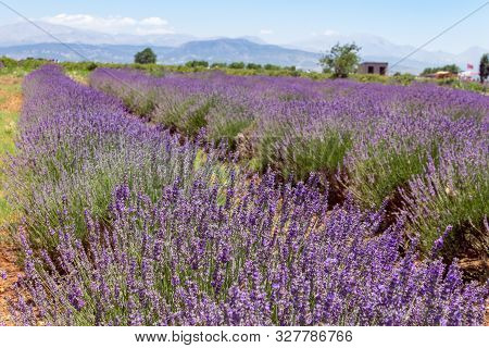 Close Up Of Lavender Bushes In A Field With Hill Background In Turkey.