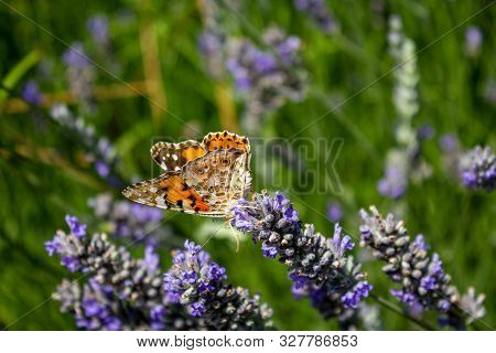 Beautiful Brown Orange Butterfly On Aromatic Lavender Flowers In A Field.
