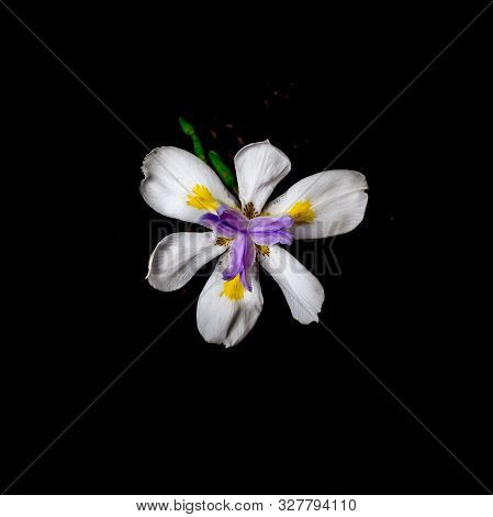African Iris, Dietes Iridioides, On Black Background, Top View. This An Ornamental Plant In The Irid