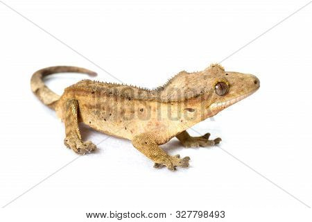 Yellow brindle crested gecko isolated on white background poster