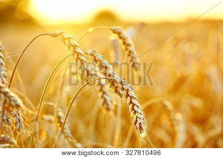 Wheat Field. Ears Of Golden Wheat. Beautiful Sunset Landscape. Background Of Ripening Ears. Ripe Cer