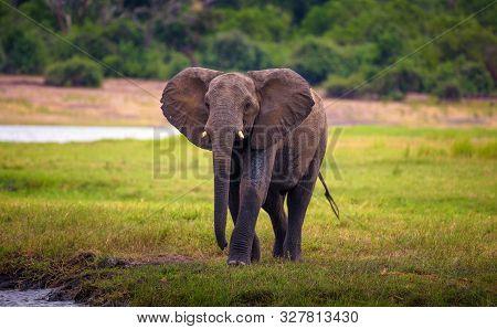 African Bush Elephant Walks To The Chobe River In Chobe National Park, Botswana.