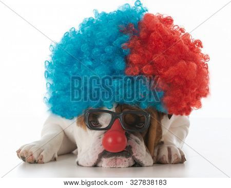 English bulldog dressed up as a clown isolated on white background