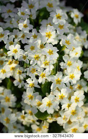 Primrose Primula Vulgaris. Multicolor Country Garden Primula Flowers