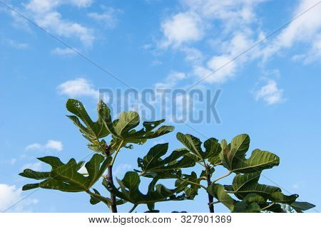 Large Green Palms Of Chestnut Leaves Stretch Towards The Blue Sky With White Clouds, As If In Prayer