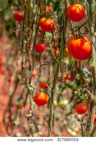 ripped tomatoes in a greenhouse close -up poster