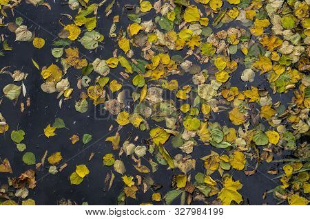 Autumn Quaking Asp Yellow, Orange And Green Leaves In A Dark Water. Beautiful Nature Scene At Fall S