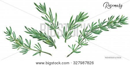 Fresh Green Rosemary Branches Traced Watercolor Illustration