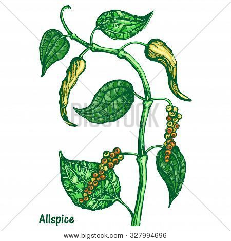 Vector Silhouette Of Black Pepper Plant With Leaves And Peppercorns, Isolated On White Background. B