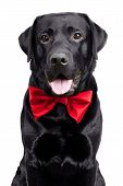 Black Labrador in the bow tie on a white background poster