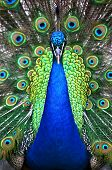 A beautiful blue peacock with a straight on view. poster
