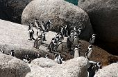 African penguin at Boulders Beach, Simonstown, Cape Town, Western Cape, South Africa poster