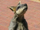 the swamp wallaby is a very shy animal poster