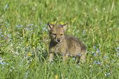 Gray wolf cub in spring meadow. Montana poster