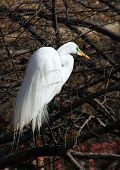 great white egret stands on branch above lake and looks out for fish poster