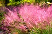 Pink Muhly Grass. Beautiful pink Muhlenbergia capillaries. Summer, autumn colors. poster