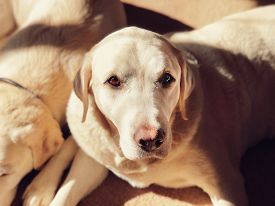 White Labrador Dogs Relax Indoors In A Warm Sunbeam. Faux Lens Blur And Grainy Film Effect. Striking