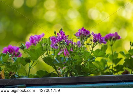 Colorful Nutmeg Flower In A Hanging Flower Box. The Background Is Beautiful Bokeh.