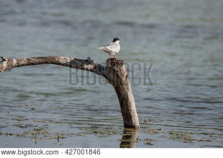 Chlidonias Hybrida Bird From The Subfamily Of Sterninae, Terns,  With Orange Beak And White And Gray