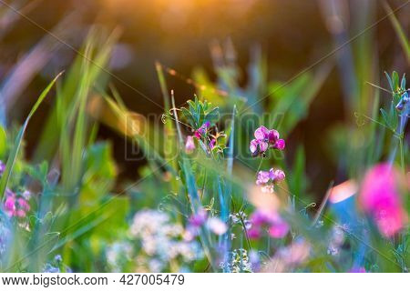 Beautiful Wildflowers On A Green Meadow. Warm Summer Evening With A Bright Meadow During Sunset. Gra